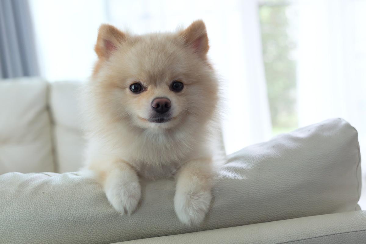 ソファーから顔を出す子犬