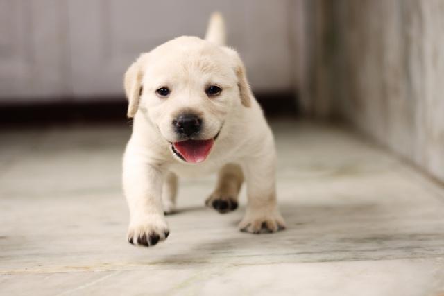 ペット可マンションで走り回る子犬