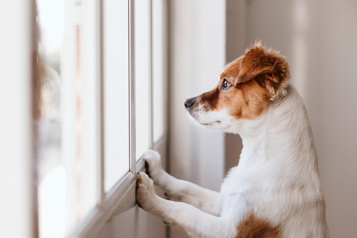 マンションの窓から外を眺めるワンちゃん